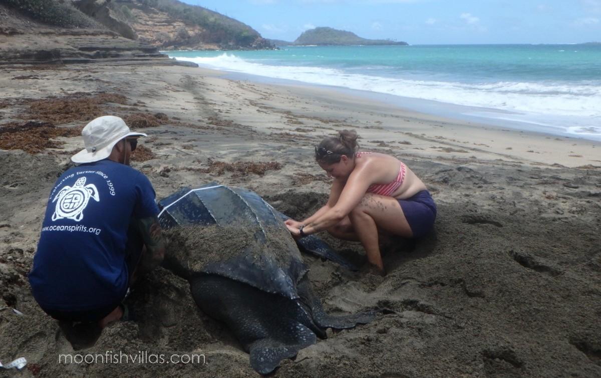 nesting leatherback turtle ocean spirits